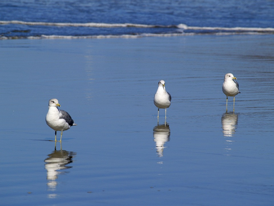seagulls-51019_960_720